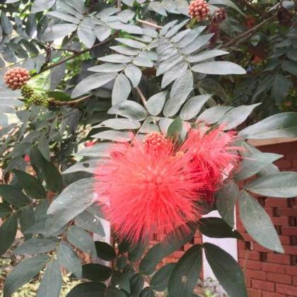 10 Heathy seeds of,Calliandra Haema..