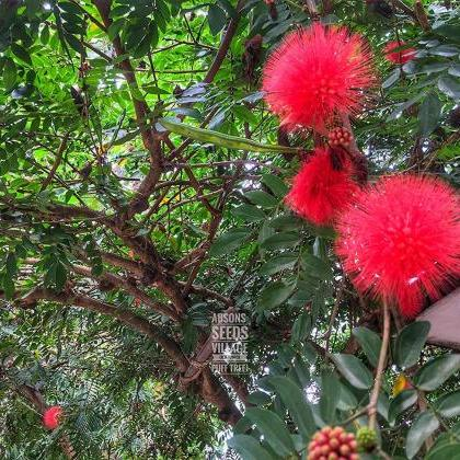 abamec Heathy Seeds Of Calliandra H..