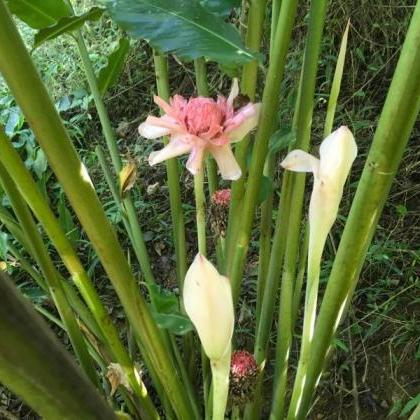Exotic Pink Torch Ginger, Pink Ging..