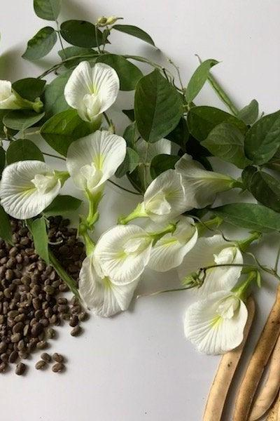 White Clitoria Ternatea Aparajita Butterfly Pea Seeds 20 Seeds for Sowing