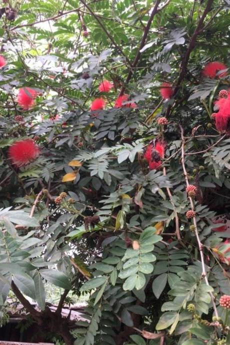 20 Heathy seeds of,Calliandra Haematocephala or Red Powder Puff Tree seeds