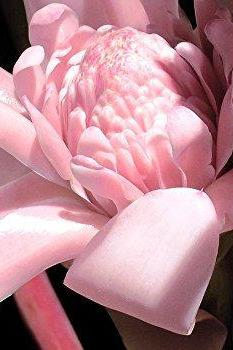 abamec Exotic Pink Torch Ginger Lily Philippine Wax 2 Bulbs / Rhizomes