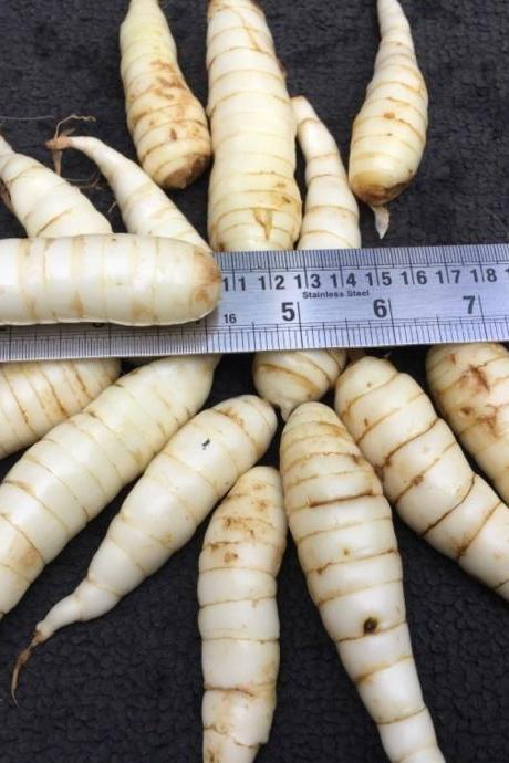 Arrowroot bulbs Maranta arundinacea arrowroot maranta 9 live bulbs for growing