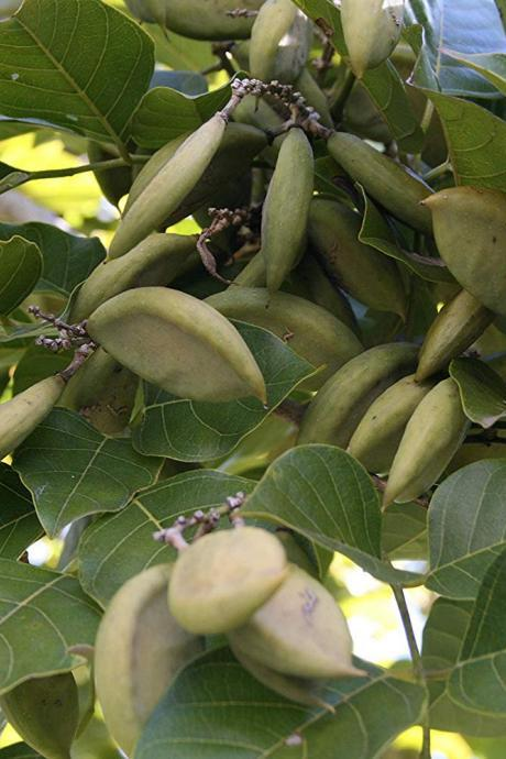 Pongamia Pinnata,Millettia pinnata, Pongam Tree, Indian Beech Tree, Pongame Oil Tree, Karanj, Pungai (6 cuttings)